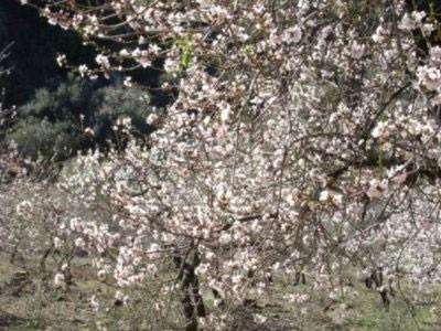 Almond Blossom Andalucia
